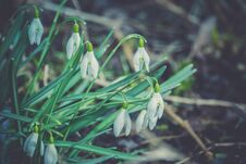 Free Snowdrops In The Garden Filtered Stock Photos - 110687853