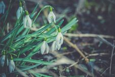 Free Snowdrops In The Garden Filtered Stock Photos - 110687923