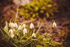 Free Snowdrops In The Garden Filtered Royalty Free Stock Photos - 110688008