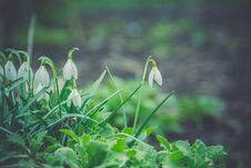 Free Snowdrops In The Garden Filtered Stock Photography - 110688062