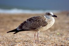 Seagull On The Beach Royalty Free Stock Photography