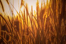 Free Brown Rice Wheats Royalty Free Stock Images - 110720989