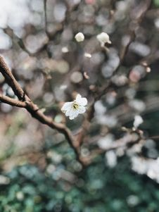 Free White Cherry Blossoms Royalty Free Stock Photos - 110796308