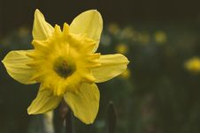 Free Close-up Photography Of Daffodil Flower Royalty Free Stock Photos - 110796348