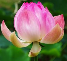 Free Flower, Lotus, Plant, Sacred Lotus Royalty Free Stock Images - 110936669