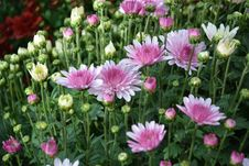 Free Flower, Plant, Flowering Plant, Marguerite Daisy Stock Photo - 110937280