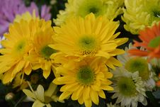 Free Flower, Yellow, Daisy Family, Chrysanths Stock Photography - 110937332