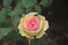 Free Flower, Rose Family, Rose, Pink Stock Photography - 110937402