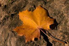 Free Leaf, Maple Leaf, Autumn, Deciduous Royalty Free Stock Images - 110937779