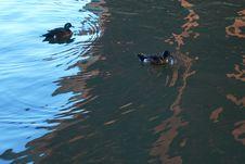 Free Water, Duck, Fauna, Water Bird Royalty Free Stock Photos - 110937908