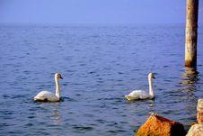 Free Swan, Water Bird, Bird, Water Stock Image - 110937991