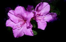 Free Flower, Pink, Violet, Purple Royalty Free Stock Photo - 110938105