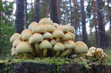 Free Fungus, Mushroom, Edible Mushroom, Oyster Mushroom Stock Photos - 110938253