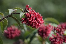 Free Plant, Flower, Flora, Viburnum Stock Photos - 110938403