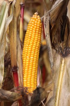 Free Sweet Corn, Corn On The Cob, Maize, Commodity Royalty Free Stock Image - 110938866