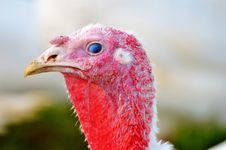 Free Beak, Galliformes, Bird, Domesticated Turkey Stock Photo - 110950220