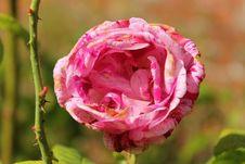 Free Flower, Pink, Rose, Rose Family Stock Photos - 110950883