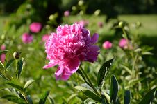 Free Flower, Plant, Pink, Peony Royalty Free Stock Photography - 110950937