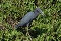 Free Little Blue Heron Royalty Free Stock Image - 1111946