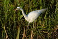Free Great Egret Royalty Free Stock Photography - 1111957
