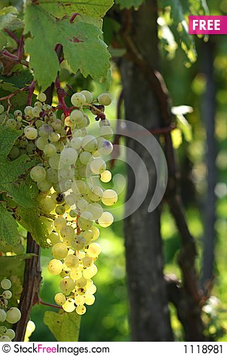 Glowing grapes Stock Photo