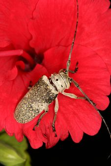 Free Longhorned Beetle Stock Photo - 1110150