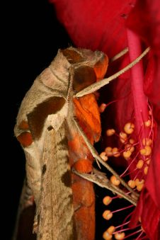 Free Moth S Portrait Stock Image - 1110231
