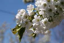 Free Cherry Flower Royalty Free Stock Image - 1110396