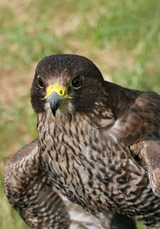 Bird Of Prey Royalty Free Stock Images