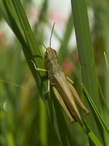 Free Grasshopper In The Grass Stock Image - 1110691