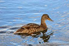 Female Duck Mallard 4 Stock Photography