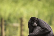 Free Alert Spider Monkey Stock Photo - 1110840