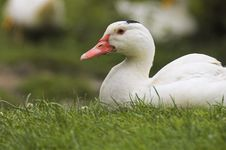 Free Goose Stock Photos - 1111423