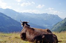 Free Cow In Alps Royalty Free Stock Photos - 1111538