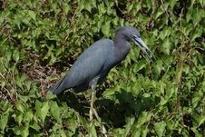 Free Little Blue Heron Royalty Free Stock Image - 1111946