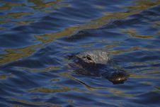 Free Alligator Swimming Stock Photo - 1111950