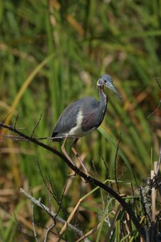 Tricolored Heron Stock Photos