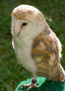 Free Barn Owl Royalty Free Stock Photos - 1112308
