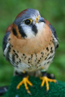 Free American Kestrel Stock Photography - 1112312
