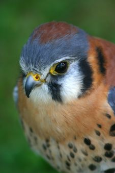Free American Kestrel Close Up Stock Photos - 1112313