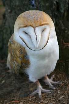 Free Barn Owl Royalty Free Stock Image - 1112316
