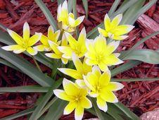 Free Wild Tulip Stock Image - 1112571