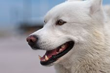 Free Smiling Husky Stock Photography - 1113062