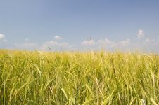 Free Field Of Gold Royalty Free Stock Images - 1116739