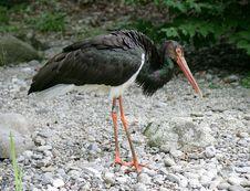 Free Black Stork 3 Stock Photos - 1117283