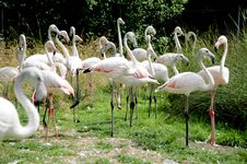 Free Flamingo Parade 2 Stock Photography - 1118082
