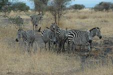 Free Zebra Posing For Me Stock Photos - 1118093