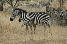 Free Zebra And Her Baby Royalty Free Stock Photos - 1118098
