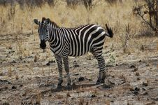 Free Zebra In Tanzania Stock Images - 1118194