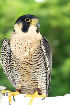 Free Peregrine Falcon Stock Image - 1118431